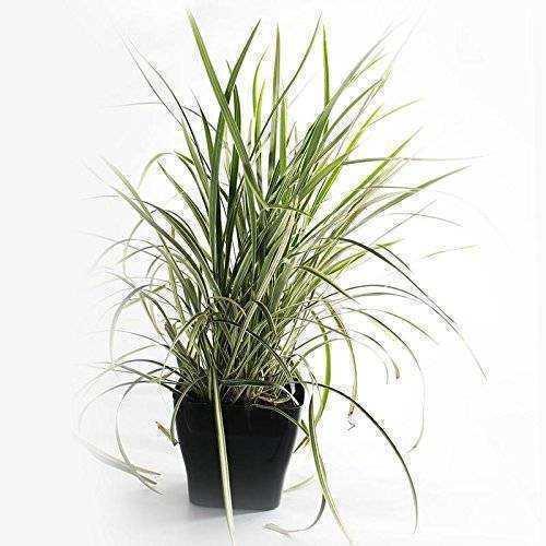 Spider Plant -Indoor Air Purifing PlantIndoor Plant