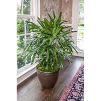 Rhapis Palm Live PlantIndoor Plant