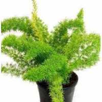 Asparagus meyerii - Foxtail Fern Live Plant
