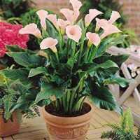 Lily Spathiphyllum Live Plant