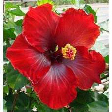 Hibiscus Rosa Healthy Live Flower Plant Outdoor plant