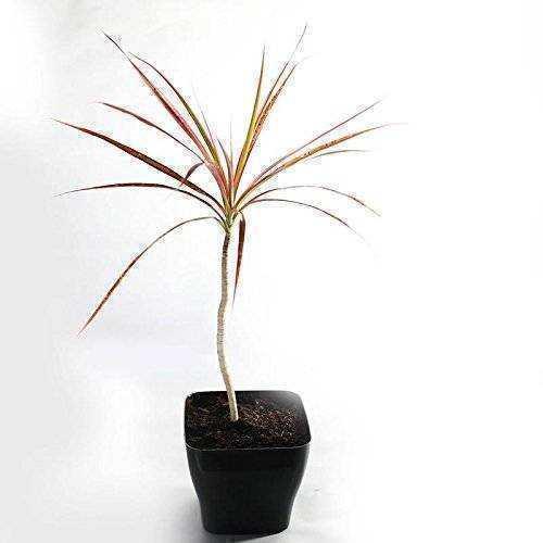Red Edged DracenaIndoor Plant